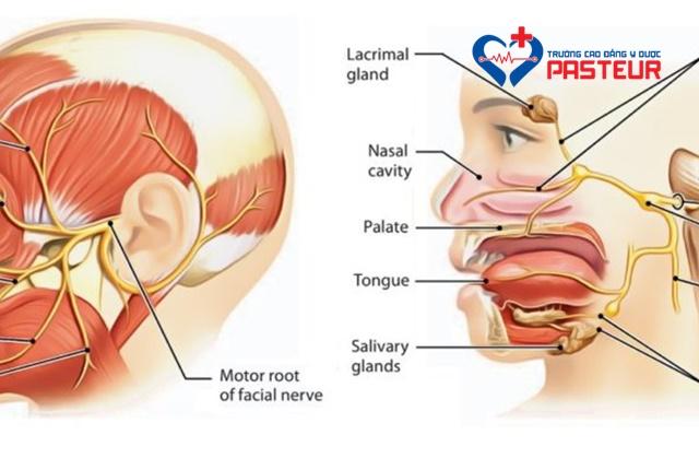 Bệnh học nội khoa: Hội chứng Ramsay Hunt