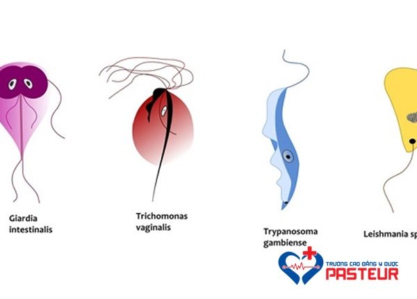 Hình thể của trùng roi Trichomonas vaginalis