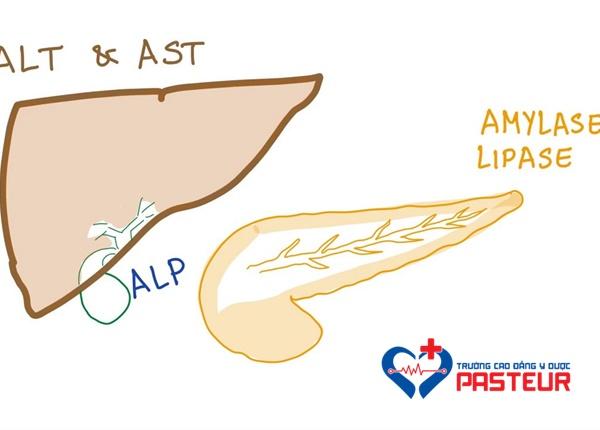 Chỉ số AST và ALT là gì?