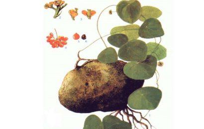 Tác dụng của cây bình vôi là gì?