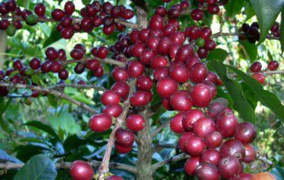 Tác dụng của cà phê với sức khỏe của con người