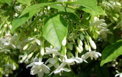 Công dụng của mức hoa trắng đối với sức khỏe con người