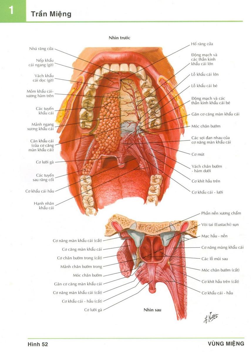 Giải phẫu ổ miệng - y sĩ đa khoa