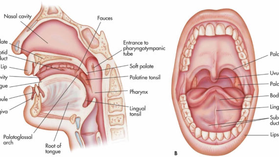 Giải phẫu ổ miệng