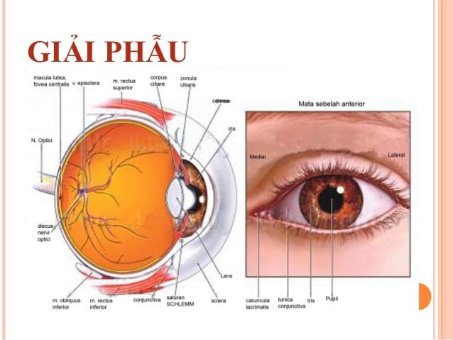 Giải phẫu mắt