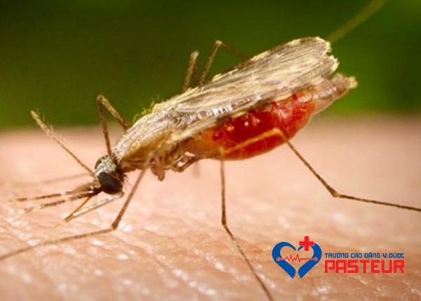 Một số loài muỗi truyền bệnh nguy hiểm hiện nay