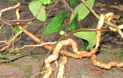 Tìm hiểu những công dụng chữa bệnh từ cây ba kích