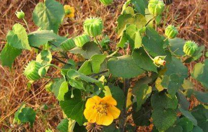 Những bài thuốc điều trị bệnh hữu hiệu từ cây cối xay